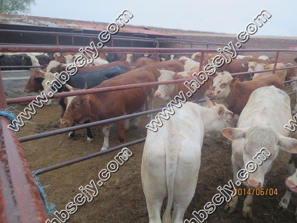 肉牛经过长途运输后出现的几种病以及治疗方法